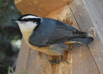 Red-breasted-NuthatchCalgary