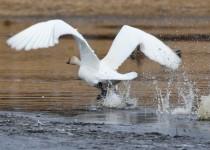 Trumpeter-Swan-Hwy-22X-Calgary
