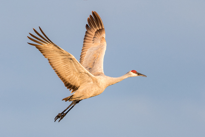 7 spectacular photos of Sandhill Cranes in Nebraska