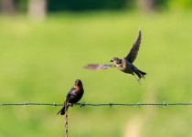 Brown Headed Cow Birds, Molothrus ater, on a barbed wire fence.