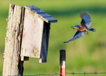 Eastern Bluebird, Sialia sialis, feeding young brood in birdhouse.