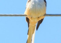 Scissor-tailed Flycatcher perched on a wire.