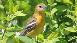 Female Baltimore Oriole. Photo by Alexis Hayes
