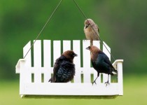 Brown Headed Cow Birds, Molothrus ater, eating from a feeder.