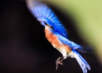 Eastern Bluebird, Sialia sialis, flying around in the backyard in central Arkansas.