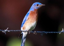Eastern Bluebird, Sialia sialis, flying around in the backyard in central Arkansas.