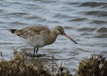 Black-tailed-Godwit-Titchwell