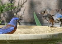 Bluebird-Bathing-Instructions_7120