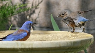 Bluebird-Bathing-Instructions_7120