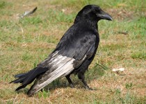 Carrioin-Crow-leucistic-London
