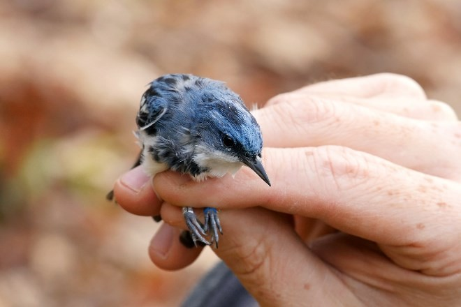 PATHFINDER: A researcher holds Elmer, one of 19 tagged male Cerulean Warblers.
