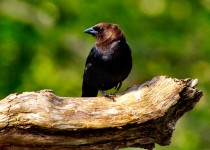 Cowbird-on-a-stick-May-002