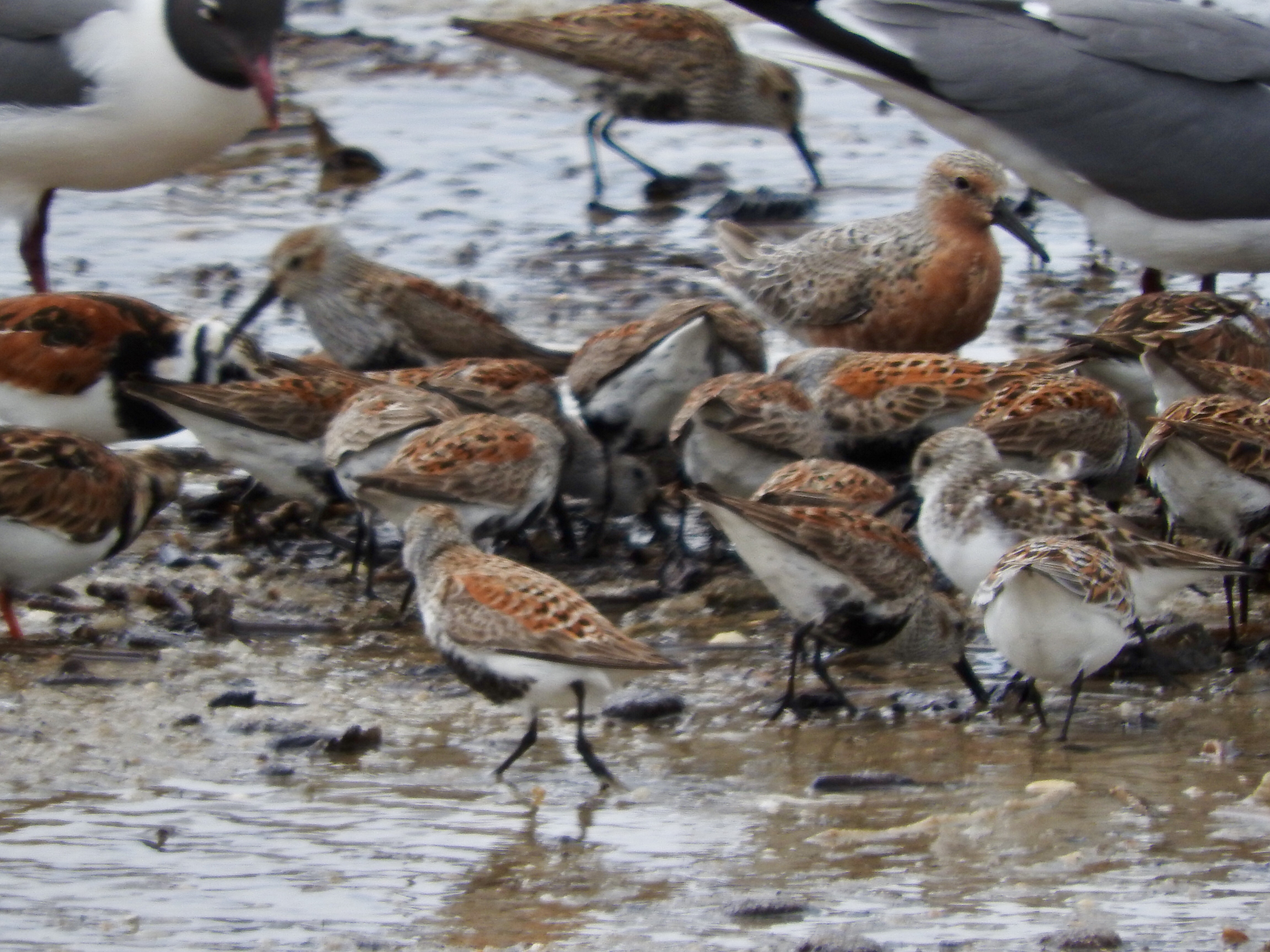 Red Knot, Ruddy Turnstone, Dunlins, Laughing Gulls, sandpipers