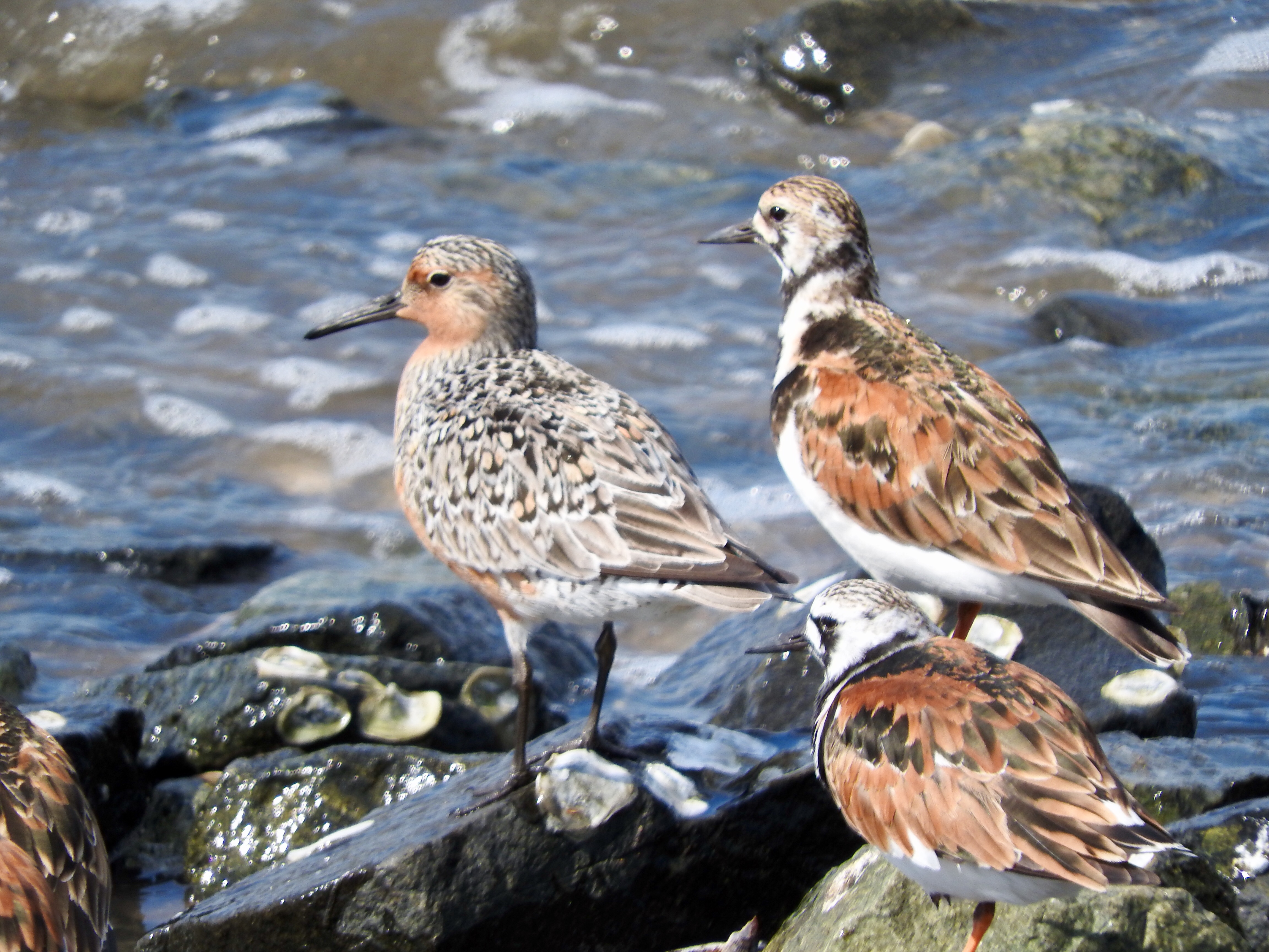 Red Knot and Ruddy Turnstones