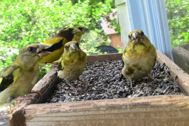 Hungry Evening Grosbeaks gather on a window-mounted feeder. Photo by Laura Erickson.