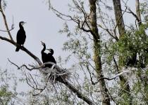 Great-Cormorant-Harrold-Odell-country-Park