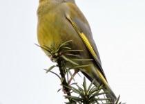 Greenfinch-Sharnbrook