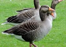 Greylag-Geese-Sandringham