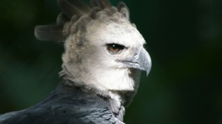 Harpy Eagle in Panama. Photo by Haui Ared/Wikimedia Commons