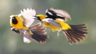 Hooded-Oriole-Combat_7438