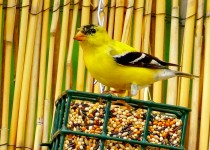 May-Goldfinch-001