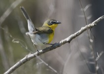 Point-Pelee_Day-3_Yellow-Breasted-Chad-6122
