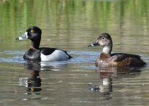 Ring-necked-Duck-Millarville