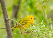 yellow_warbler-0049