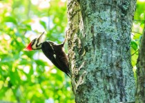Female Pileated Woodpecker perched on a tree.