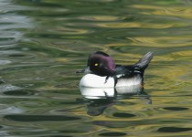 Barrow's Goldeneye x Hooded Merganser