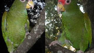 Blue-winged Amazon