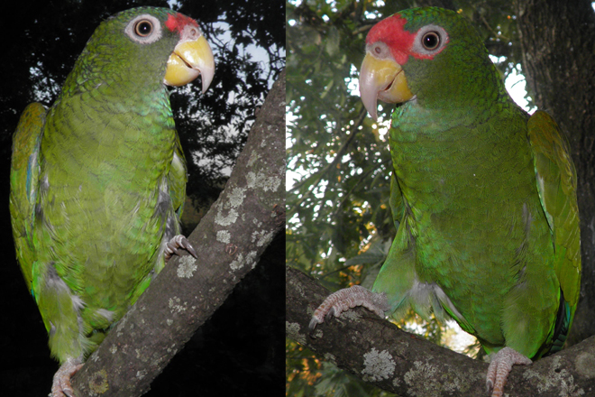 New parrot species discovered in Mexico