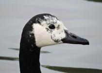 Canada-Goose-leucistic-London-1