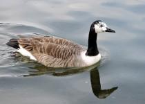 Canada-Goose-leucistic-London-2