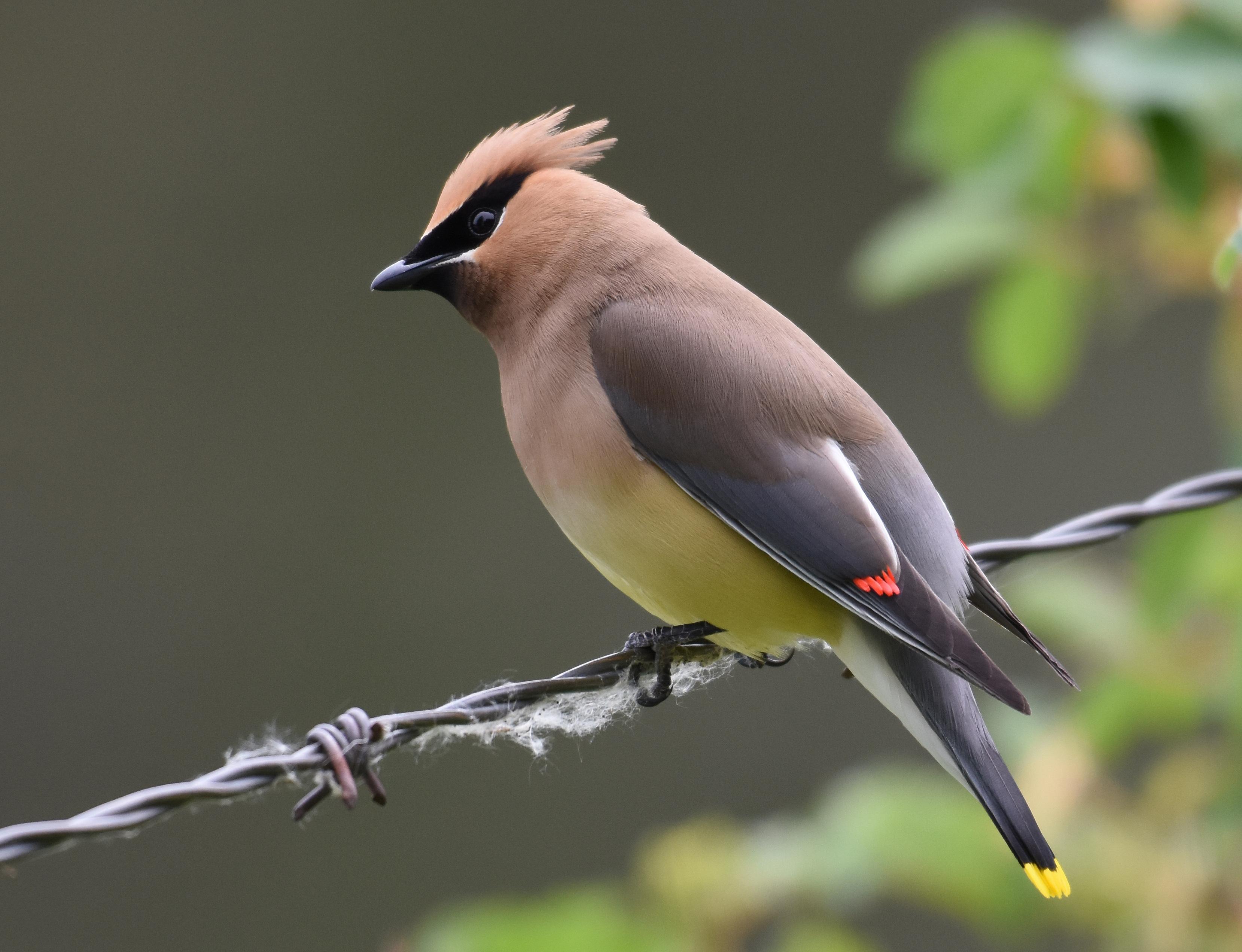 Cedar Waxwing - BirdWatching