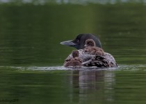 Common-Loon_Trying-to-Climb-Aboard_CMG2623-BWD-copy