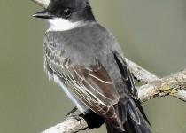 Eastern-Kingbird-Millarville