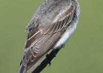 Eastern-Kingbird-Millarville1