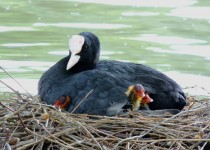Eurasian-Coot-with-chicks-London