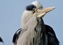 Grey-Heron-London