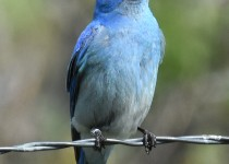 Mountain-Bluebird-Millarville