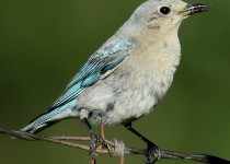 Mountain-Bluebird-female-Millarville
