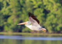American White Pelican near Pendelton Recreation Area