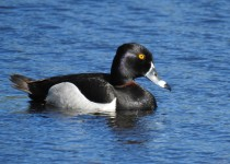 Ring-necked-Duck-Millarville
