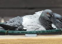 Rock-Pigeons-Calgary