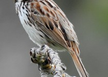 Song-Sparrow-Inglewood-Bird-Sanctuary