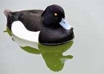 Tufted-Duck-Kew