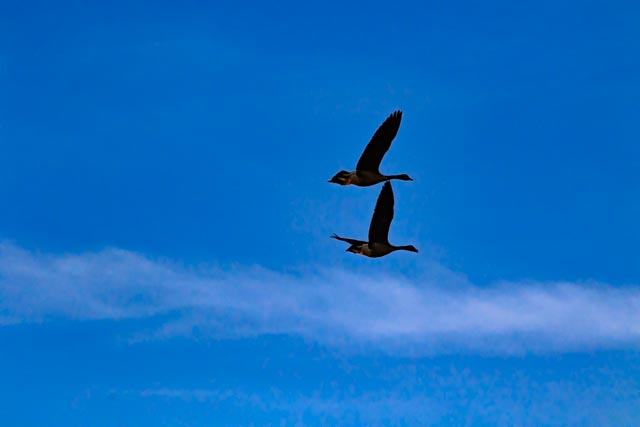 Pair of geese fly over Woody Pond in Searcy, Arkansas in the winter of 2017