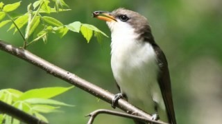 Yellow-billed-Cuckoo_neish-320