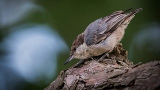 Brown-headed-Nuthatch-2406-660x440-320x180
